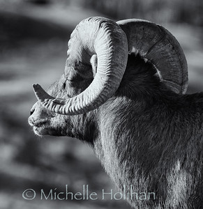 Bighorn ram soaking up the winter sun