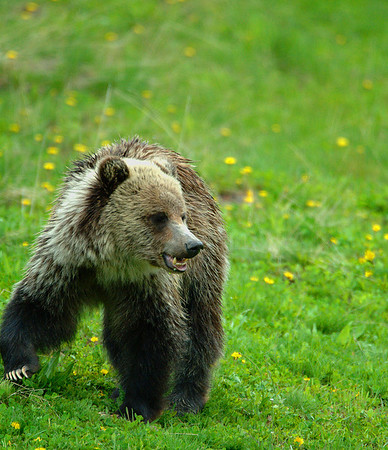 Yellowstone Grizzly Bear 026