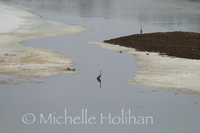 Blue Herons on the Yellowstone River