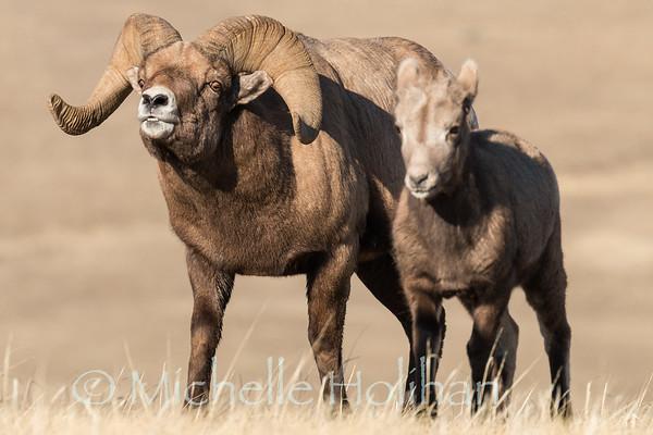 Bighorn ram and a lamb during rut