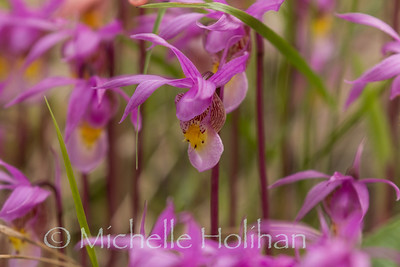 Pink Fairy Slipper Orchids