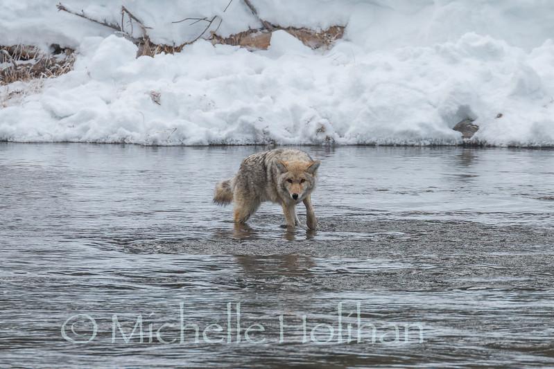 Fishing Coyote