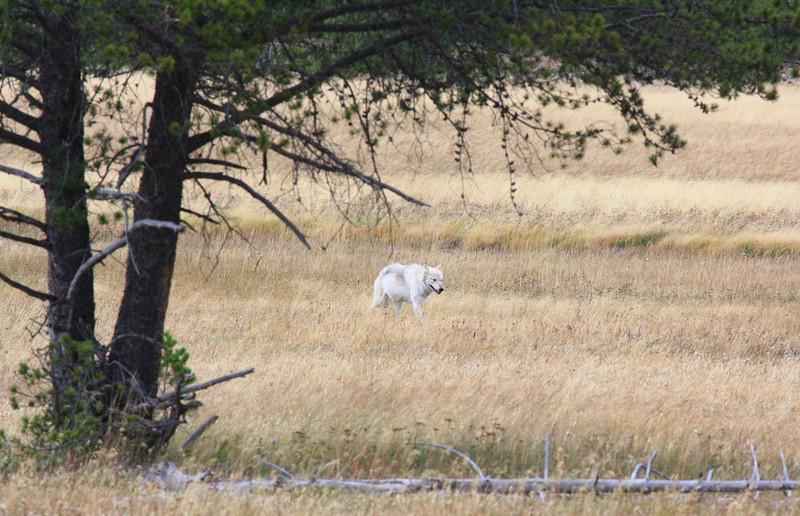 ~ White Wolf ~