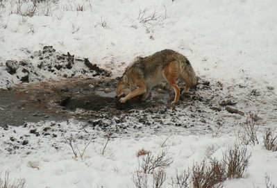 Coyote feeding on dead Bison