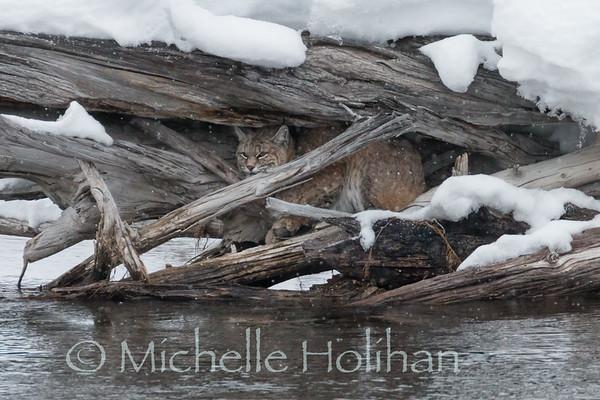 Bobcat in a logjam