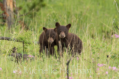 Cinnamon Black Bear Cubs