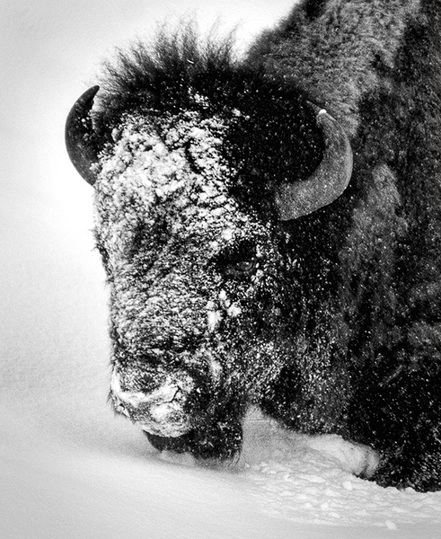 Wintry Bison
