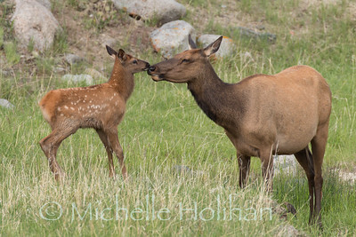 Elk calf and mother give each other a kiss