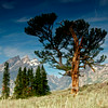 Old Patriarch Tree- Grand Teton National Park