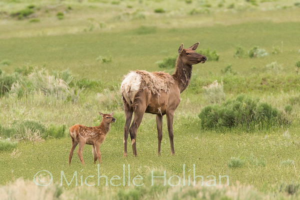 Elk mother and newborn calf