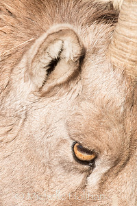 Closeup of bighorn sheep