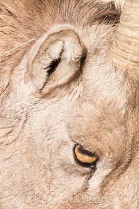 Closeup of bighorn sheep