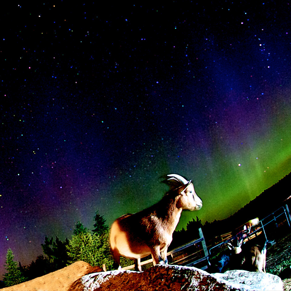 """ Aurora Goat "" ____ 7335Ms<br /> <br /> <br /> This unique image is fused directly onto a specially treated, rigid piece of Aluminum.<br /> More archival and lighter than a framed paper print, it arrives ready to hang.<br /> The Float-Mounted MetalPrint™ needs no frame and<br /> will appear to float 3/4"" from your wall.<br /> <br /> Archival paper prints are also available<br /> ------- Contact us for more information -------<br /> moreinfo@RobertHowellPhotography.com"