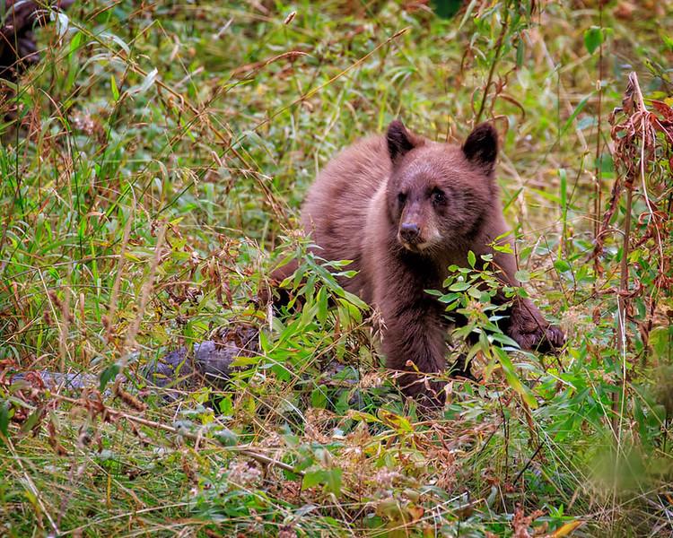 Black Bear (Young)