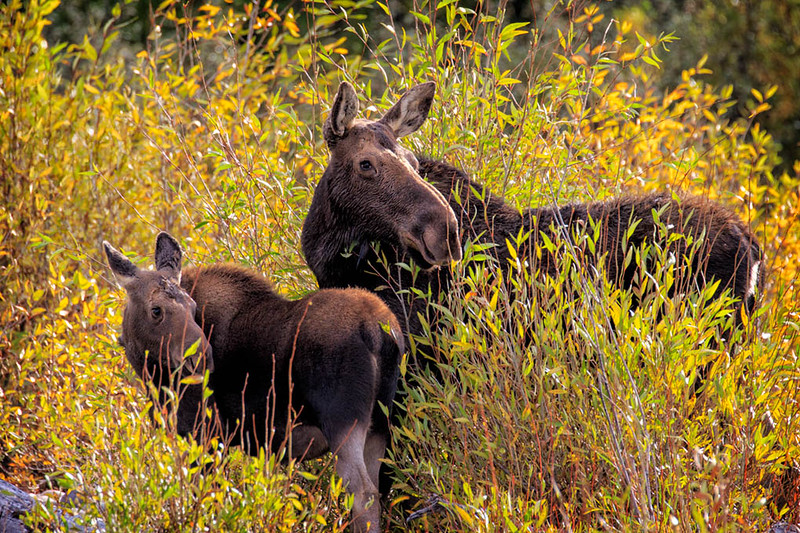 Moose (Mom and young)
