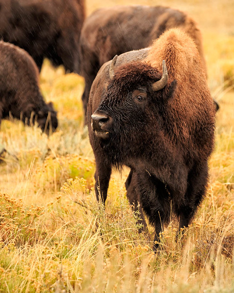 Bison in the rain