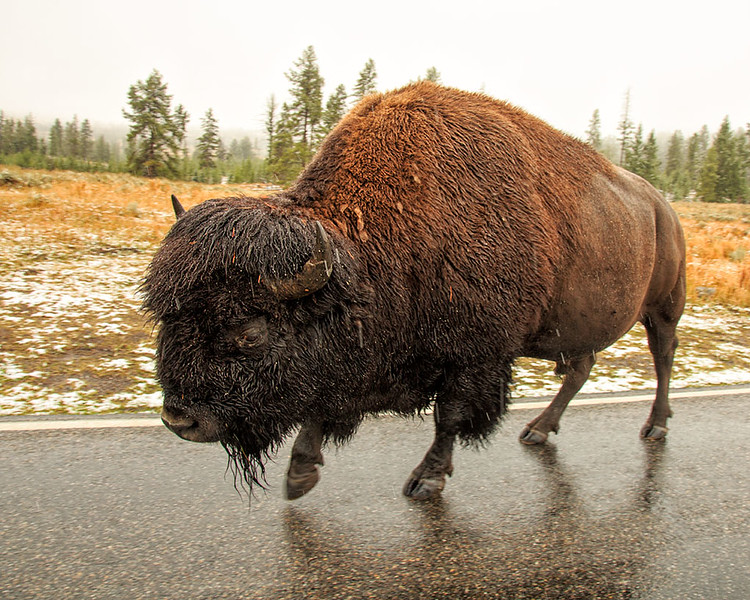 Bison (One tough road trip)