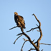 Imature Bald Eagle or a Golden Eagle ??