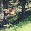 Grizzly feeding on an Elk