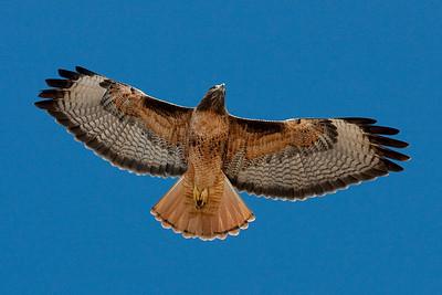 Red-tailed hawk, Blufftop Coastal Park, Ca. USA