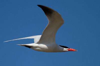 Rovterne, Caspian Tern (Hydroprogne caspia), Pescadero