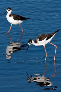 Black-necked Stilt, Charleston Slough, California