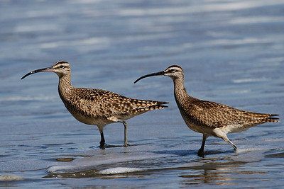 Småspover, Whimbrels (Numenius phaeopus), Drakes Beach, Point Reyes