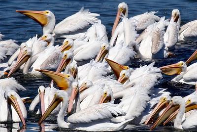 White Pelicans, Charleston Slough, Ca. USA