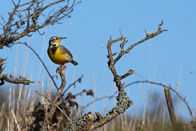 Western Meadowlark, Point Reyes, California