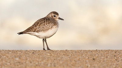 Plover, Point Reyes, Ca. USA