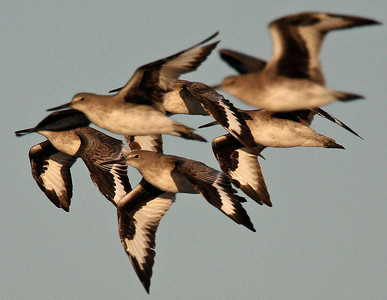 Willets, Charleston Slough, Ca. USA