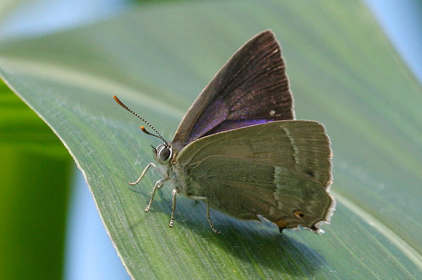 Blåhale, Purple Hairstreak (Neozephyrus quercus), Himmerland