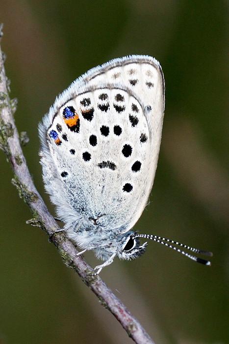 Bølleblåfugl, Cranberry Blue (Plebeius optilete), Himmerland