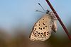 Bølleblåfugl, Cranberry Blues (Plebeius optilete), Vrads Sande