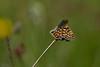 Hedepletvinge, Marsh Fritallary (Euphydryas aurinia), Himmerland