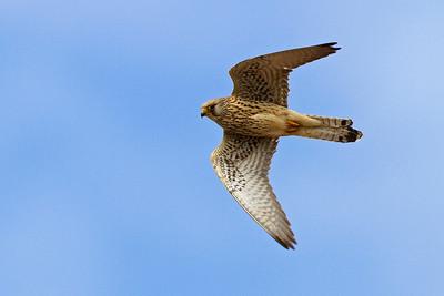 Lille tårnfalk, hun, Lesser Kestrel, female (Falco naumanni), Extremadura