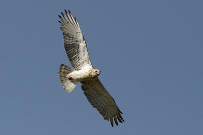 Slangeørn, Short-toed Eagle (Circaetus gallicus)