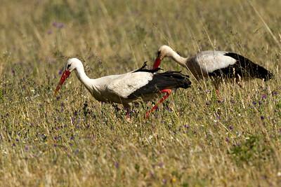 Hvide storke, White storks, Extremadura