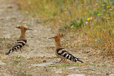 Hærfugle, Hoopoes (Upupa epops)