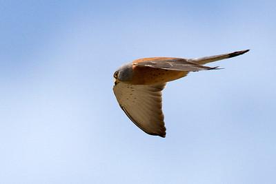Lille tårnfalk, han, Lesser Kestrel, male (Falco naumanni), Extremadura