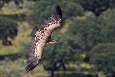 Uforsvarlig gåsegrib, Hazardous Griffon Vulture (Gyps fulvus), Extremadura