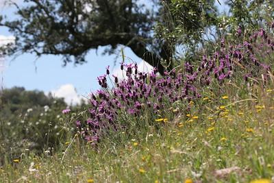 Sommerfuglelavendel (Lavandula stoechas), Extremadura