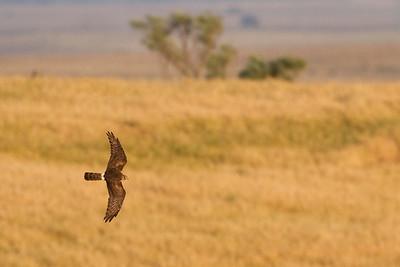 Hedehøg, hun, Montagu's Harrier, female (Circus pygargus), Extremadura
