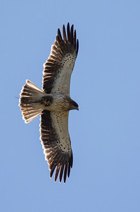 Dværgørn, Booted eagle (Aquila pennata) with lizard prey