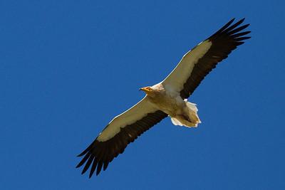 Ådselsgrib, Egyptian Vulture (Neophron percnopterus), Extremadura