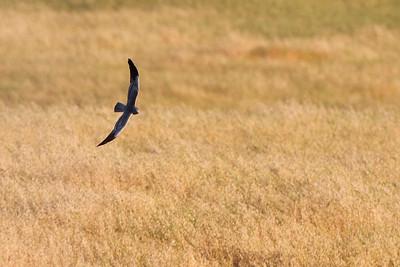 Hedehøg, han, Montagu's Harrier, male (Circus pygargus), Extremadura
