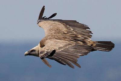 Gåsegrib, Griffon Vulture (Gyps fulvus), Extremadura
