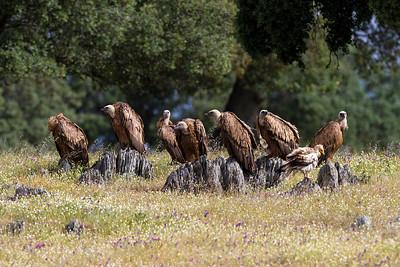 Gåsegribbe og en Ådselsgrib, Griffon Vultures (Gyps fulvus) and one Egyptian Vulture (Neophron percnopterus), Extremadura