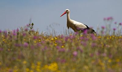 Hvid stork, White stork (Ciconia ciconia), Extremadura, Spain