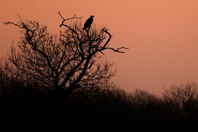 Kongeørn ved morgengry, Lille Vildmose